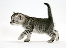 Silver striped tabby kitten