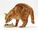 Ginger cat covering a dish of pilchards