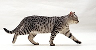 Silver tabby cat walking