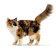 Calico cat walking with tail up