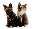 Two tortoiseshell kittens, 9 weeks old
