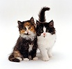 Tortoiseshell and Black-and-white kittens