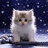 Cute fluffy silver-and-white kitten