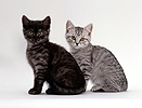 Two British shorthair smoke and silver spotted kittens