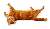 Ginger cat rolling on her back