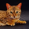 Brown spotted Bengal female cat