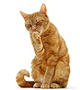 Ginger tabby female cat licking a paw