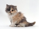 Blue-cream bicolour Persian kitten