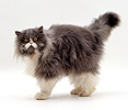Blue bicolour Persian male cat