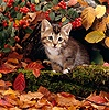 Tabby kitten among autumn leaves