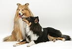 Sable and tricolour Shetland Sheepdogs (Shelties)