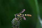 Hoverfly on plantain