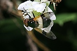 Volucella hoverfly on bramble