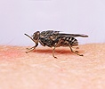 Tsetse Fly feeding on human arm