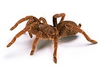 King Baboon Spider