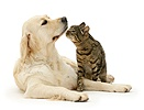 Golden Retriever and British Shorthair brown tabby cat
