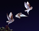 Barn owl multiple