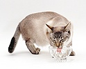 Siamese-cross cat drinking water from a bowl