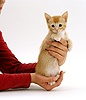 Person holding a ginger kitten