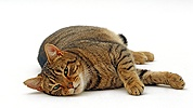 Striped tabby male cat
