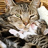 Tabby mother cat asleep with her 2-week-old kitten