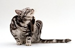 Silver tabby cat scratching