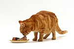 Ginger cat eating fish from a dish
