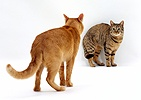 Cat showing aggression prior to mating