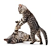 Silver tabby British Shorthair kittens playing