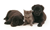 Black Labrador pups with grey kitten