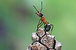 Wood Ant worker