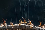 Wood Ants squirting