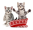 Silver tabby kittens in a woolly hat