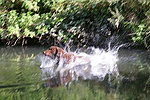 Chesapeake Bay Retriever leaping into water