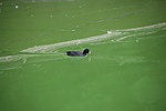 Coot swimming in green algae covered water