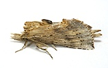 Pale Prominent Moth