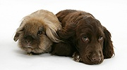 Chocolate Cocker Spaniel pup with Lionhead rabbit