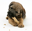 Border Terrier pup eating a Bonio biscuit
