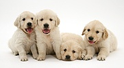 Four Golden Retriever puppies in a row