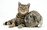 Tabby cat with agouti Lop rabbit