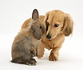 Lop rabbit meets cream dapple Dachshund pup