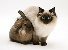Young Birman-cross cat Dwarf Lionhead x Lop rabbit