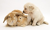Mother and baby rabbits with Golden Retriever pup