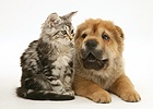 Tabby Maine Coon kitten and Shar-pei pup