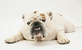 White-and-red Bulldog