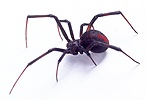 Red-back Spider
