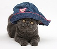 Grey kitten wearing a blue cloth hat