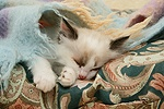 Birman-cross kitten asleep under a scarf.