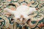 Birman-cross kitten asleep on its back