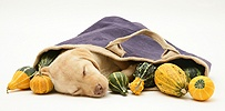Yellow Retriever pup asleep with gourds in a cloth bag